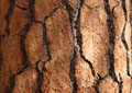 Detail of Redwood bark